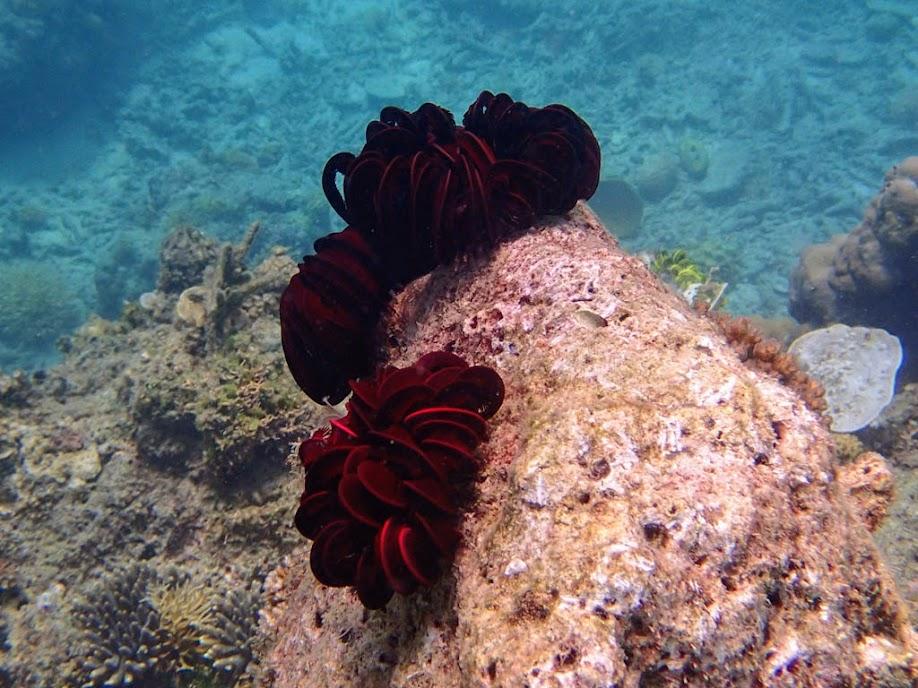 Crinoid sp. (Feather Star), Entatula Island Beach Club reef, Palawan, Philippines.