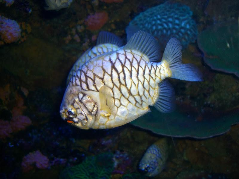 Julidochromis_regani.jpg