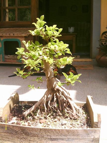Ficus Microcarpa var. Indica... - Página 2 IMAG0034