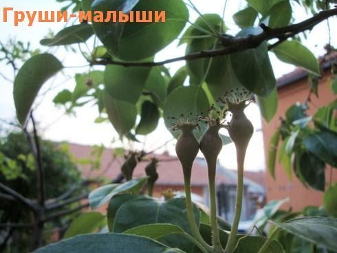 фрукт зеленый маленький