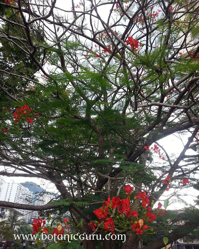 Delonix regia, Flamboyant, Royal Poinciana, Flame Tree