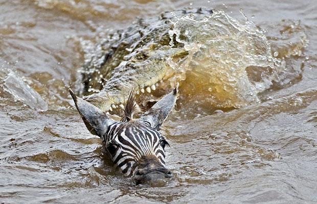 crocodile attacks zebra in river