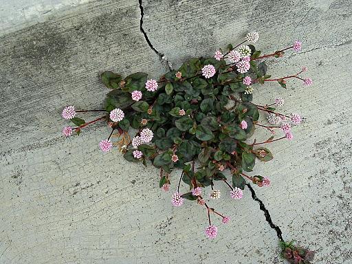 Flores en las grietas en la Colonia Tovar