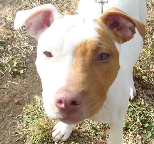 six month old pitbull