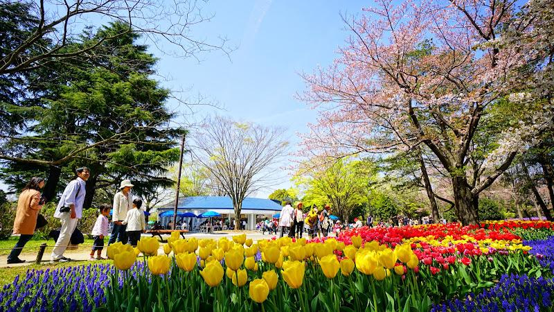 昭和記念公園 桜 写真13