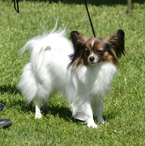 Papillon - Page 2 5Missy