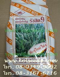เมล็ดพันธุ์ผักบุ้งจีน รังสิต9 ไผ่9 ตรารถถัง