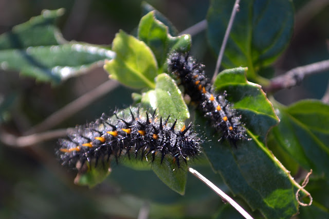 two furry black caterpillars