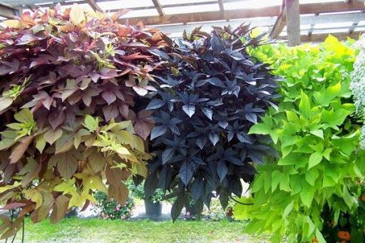 Батат как декоративное растение
