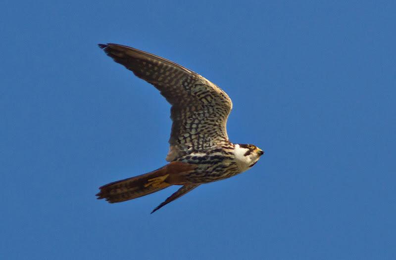 pasari birdwatching Delta Dunarii saraturi murighiol prada