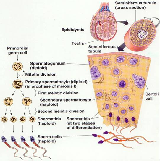 Nocturnal sperma mendapat tambahan cairan dari kelenjar prostat cairan prostat merupakan medium sperma yang memberi makan sperma dan menjaga ph sperma ccuart Choice Image