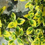 Euonymus fortunei Esmerald Gold