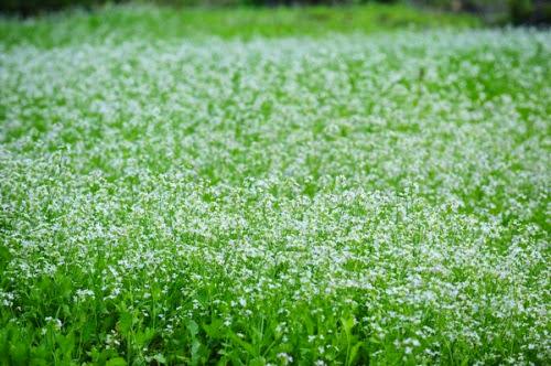 298 Mộc Châu đẹp tinh khôi mùa cải trắng