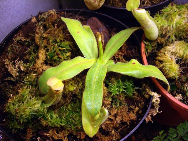 photos de mes orchidées en fleur - Page 2 IMGP4851
