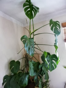 Monstera dziurawa Monstera deliciosa