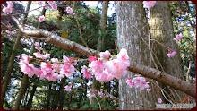 草坪頭玉山觀光茶園-櫻花與松林的邂逅