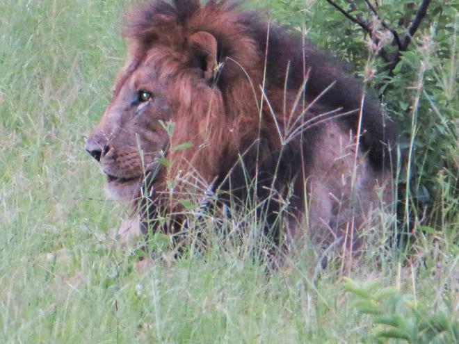 rustende leeuw in de late namiddag, Kruger Park - Zuid Afrika