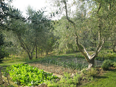 Olive trees and vegetable garden at Castello Vicarello in Tuscany