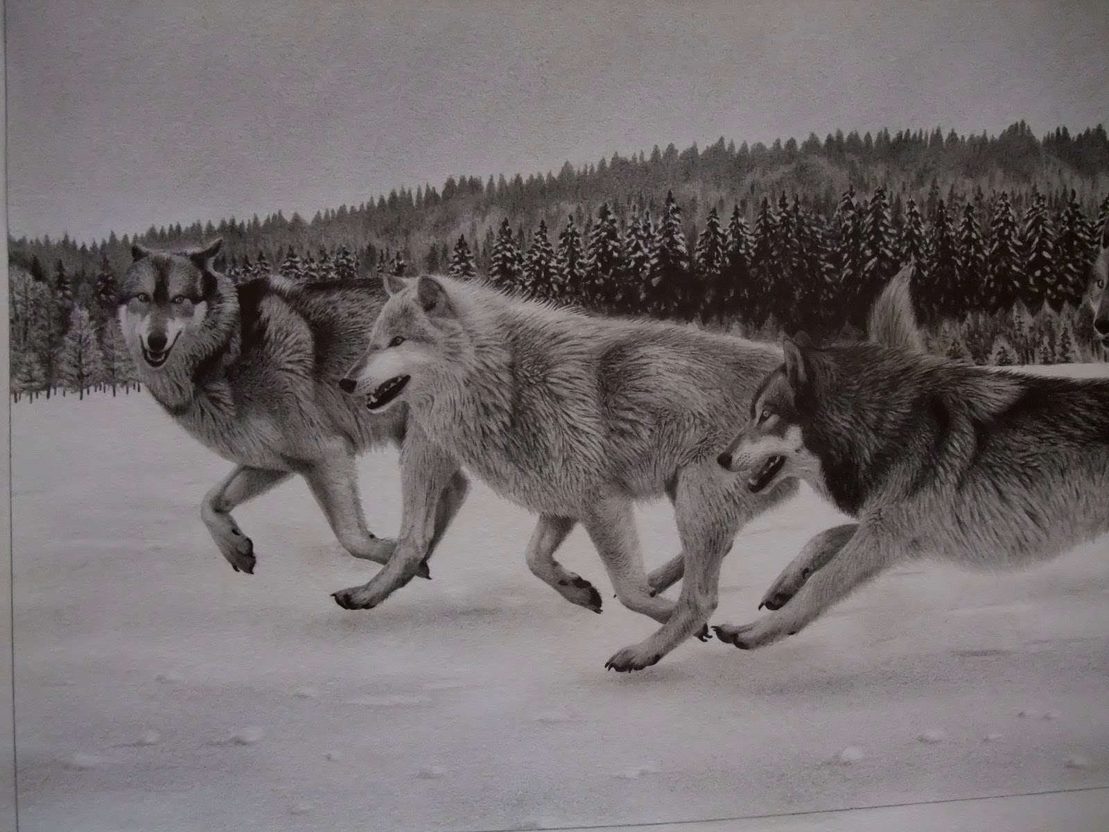 Antoine roquain dessin animalier wildlife pencil art f vrier 2011 - Dessin de loup simple ...