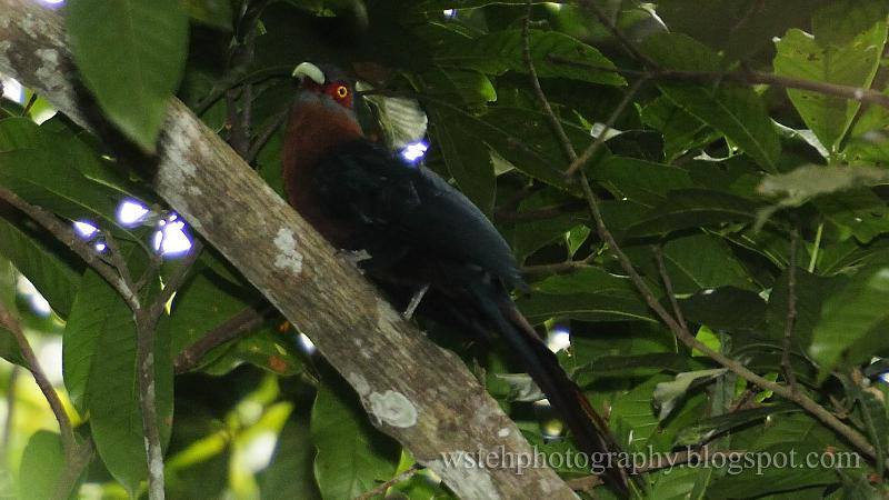 WS Teh Photography Chestnut Breasted Malkoha