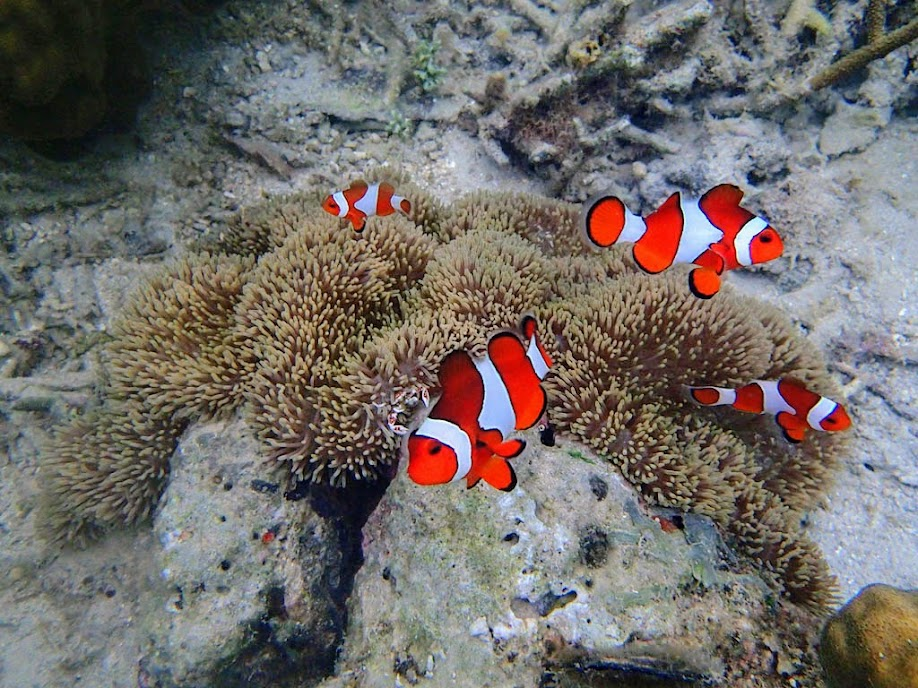 Amphiprion ocellaris (Ocellaris Clownfish) with Stichodactyla gigantea (Giant Carpet Anemone), Chindonan Island, Palawan, Philippines.