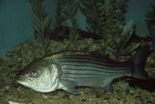 bay striped adaptations Chesapeake bass