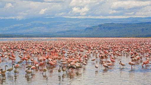 Lesser and Greater Flamingos, Lake Nakuru National Park, Kenya.jpg