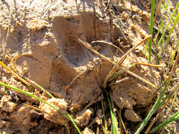 Cougar track in the sand near camp