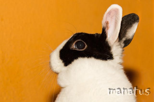 conejo, manatus foto mascotas