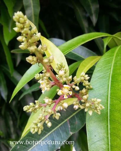 Mangifera indica, Mango flowers