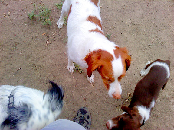 Torrey and Boulder (and my leg) with a neighbor's dog who is a Brittany Spaniel/Dalmatian mix