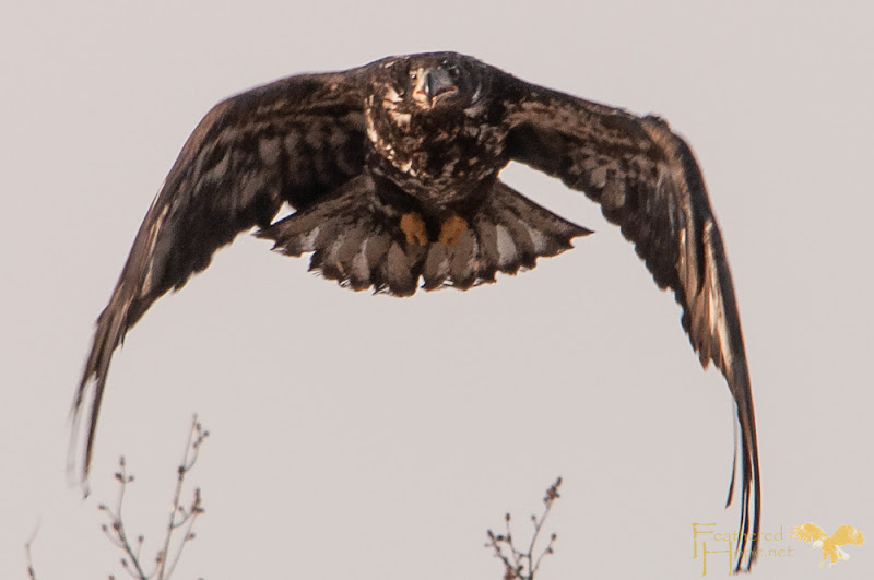 After finally being convinced he was free to go, this immature bald eagle made repeated passes directly over the crowd. Photo by Lisadawn Schram/Feathered Hope.net