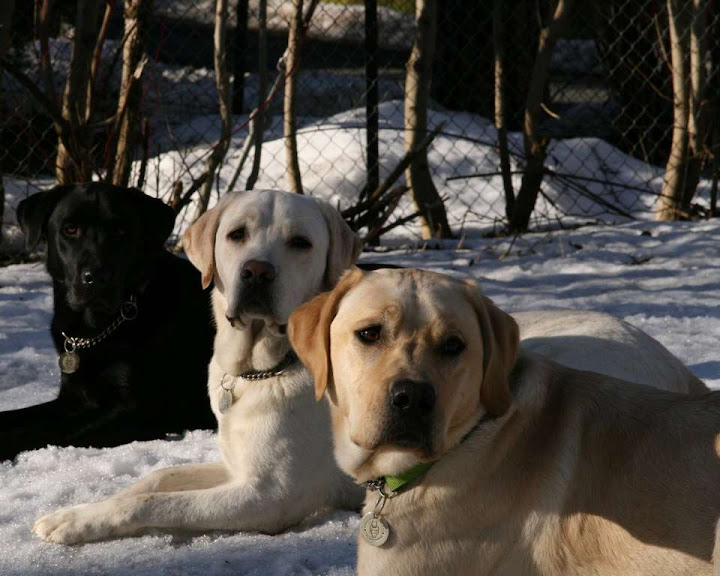 Labrador or golden retriever which one is better