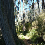 Stringybark Trees (275507)