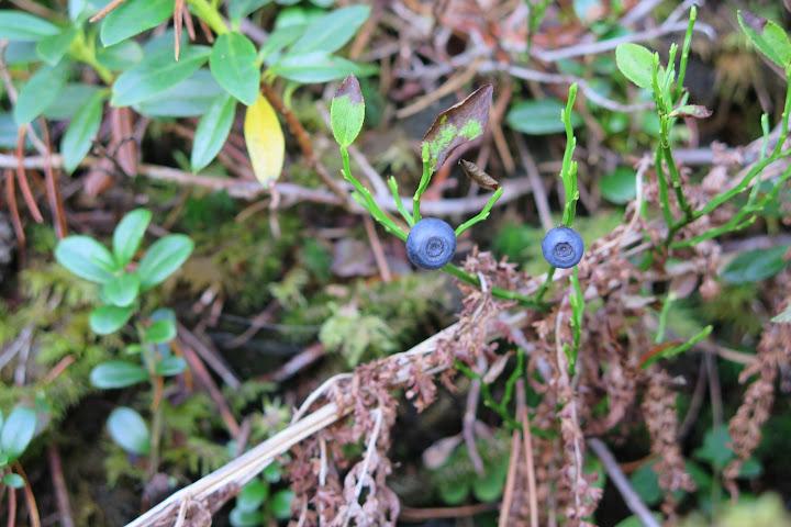 Auch zahlreiche Beeren sind zu finden