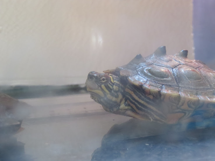 mes tortues (BK) - Page 11 IMG_3713
