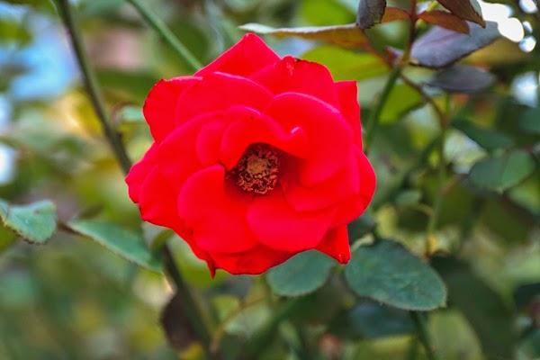 bunga ros merah
