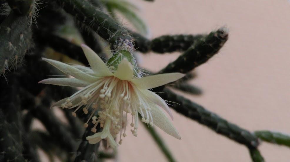 Rhipsalis pilocarpa IMAG0348