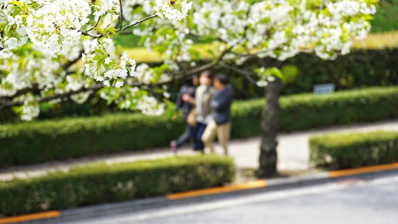 千鳥ヶ淵 桜 写真21