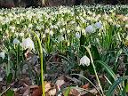 na zdjęciu kwiat - Śnieżyca wiosenna