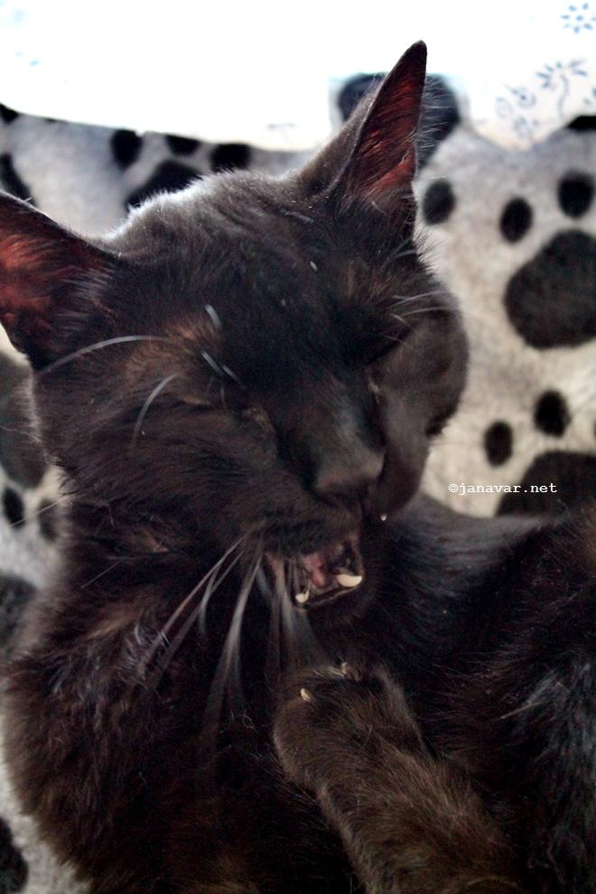 Black cat Canavar