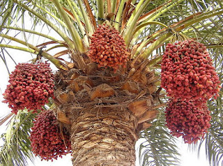 view showing a tree full of dates