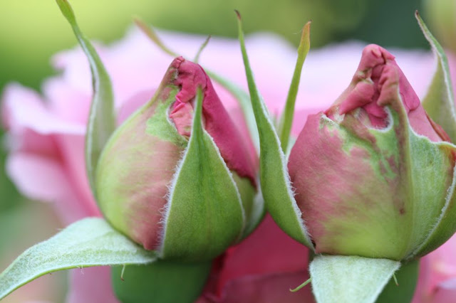 a pair of pink rosebuds