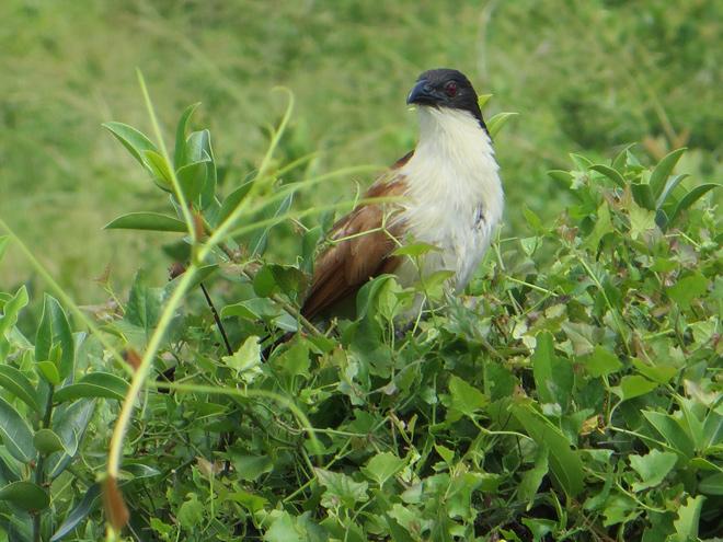 Burchells spoorkoekoek (Centropus burchellii), iSimangaliso Wetland Park, Zuid Afrika