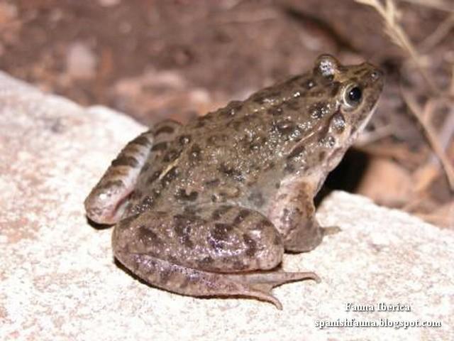 Sapillo pintojo mediterráneo (Discoglossus pictus), anfibio de la familia Alytidae (Mediterranean Painted Frog).