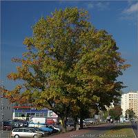 Quercus robur autumn habit - Dąb szypułkowy pokrój jesienią