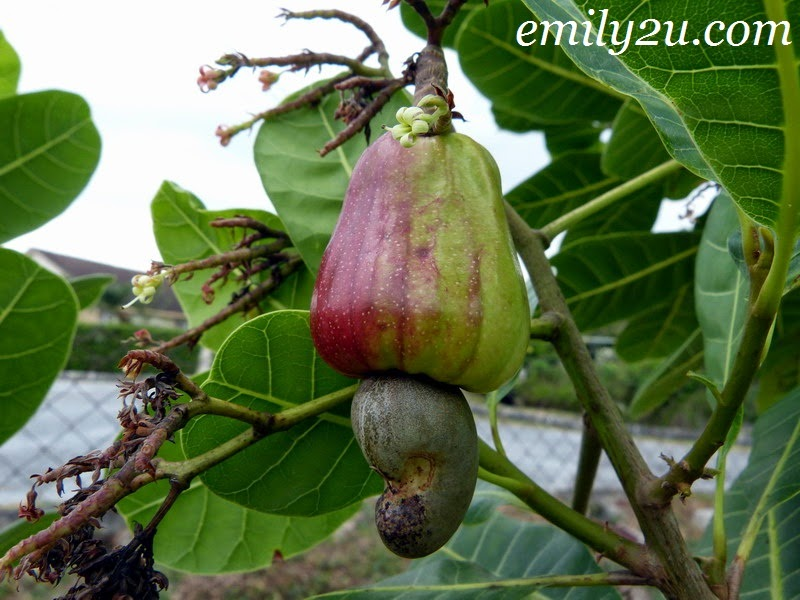 gajus cashew tree fruit nut