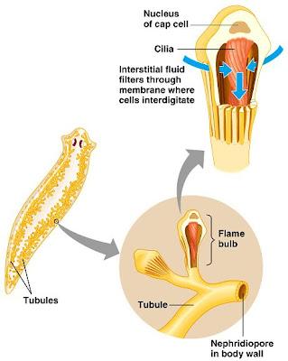 flamecell Sistem Ekskresi (1): Sistem ekskresi pada hewan rendah
