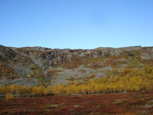 Birkenwäldchen auf dem Nordkalottleden