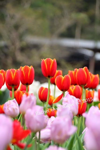 Another shot of the bi-color tulips